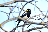 Black Billed Magpie